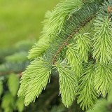 Picea lutzii