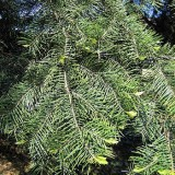 Abies concolor f. lowiana